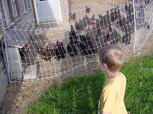 chickens1sm.JPG