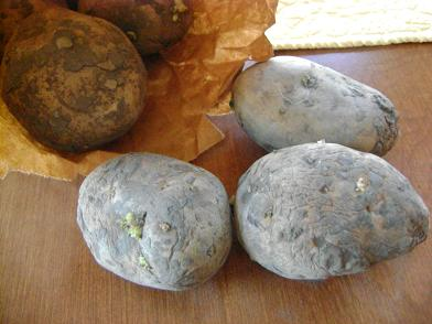 seedpotatoes1sm.JPG