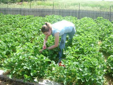 pickingstrawberries2sm.JPG