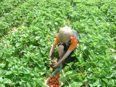 pickingstrawberries3sm.JPG