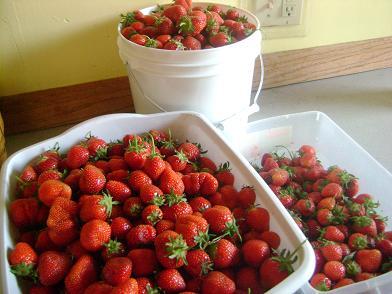 pickingstrawberries4sm.JPG