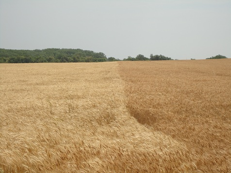 wheat_fields_2